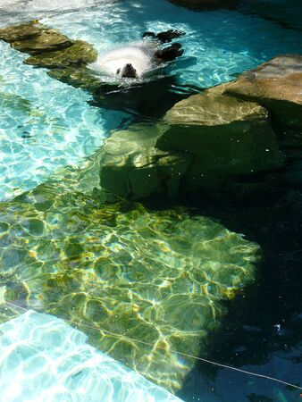 Seal swimming in the water.