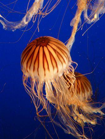 Jelly fish in the water  Zdjęcie Seryjne