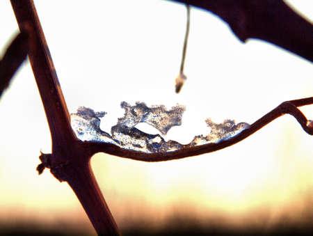 eis: Eisgebilde an einem Rebstock im Winter