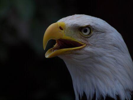 farbe: Weisskopfseeadler mit offenem Schnabel