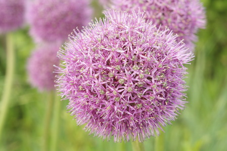 globular: purple flowers decorative onion on a background of green grass