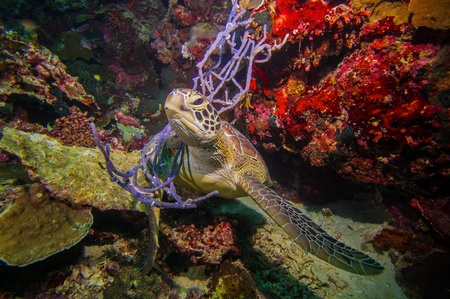 Turtle entangled in softcorals