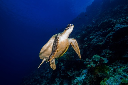Turtle drifting in deep blue