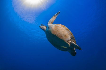 Turtle likes flapping in blue water