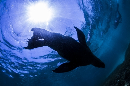 silhouette of sea lion photo