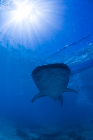 Whale Shark swimming photo