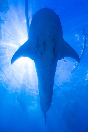 Whale Shark with Sunlight