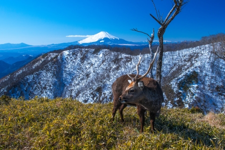Mount Fuji and deer photo