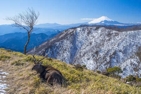 Mount Fuji and laying deer photo