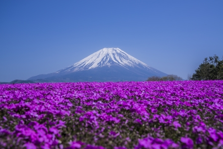 fuji: Phlox wide and Mount Fuji