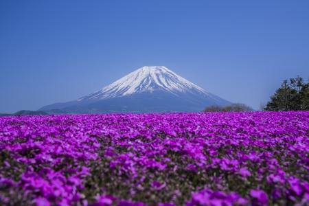 Phlox wide and Mount Fuji