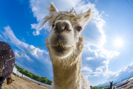 very cute alpacas photo