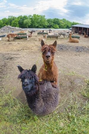 pet photography: very cute alpacas