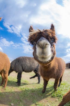 very cute alpacas