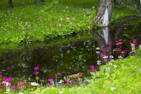 japonica: primula japonica Stock Photo