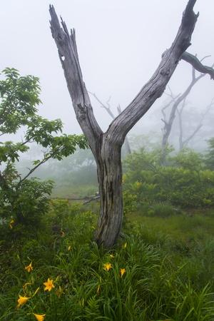 misty hemerocallis Stock Photo