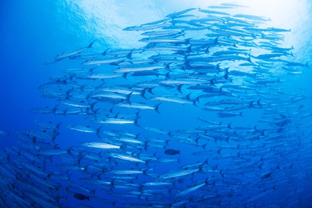 flock of barracuda Stock Photo