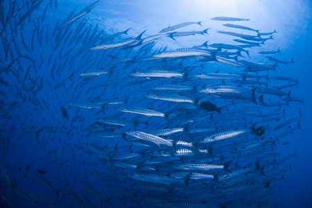 platax: flock of barracuda Stock Photo