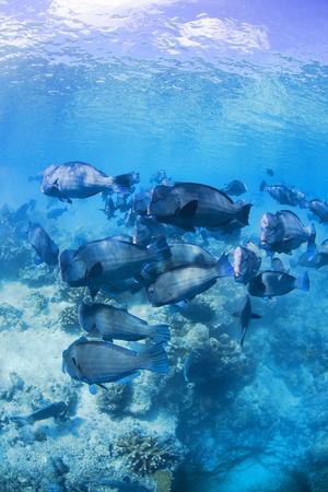 exoticism saltwater fish: buffalo fish