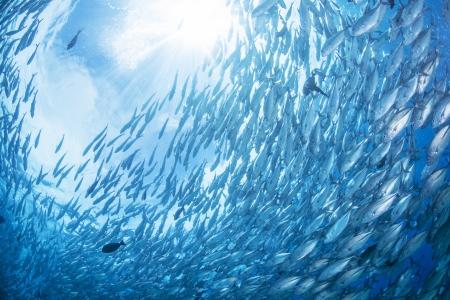 exoticism saltwater fish: flock of jack fish