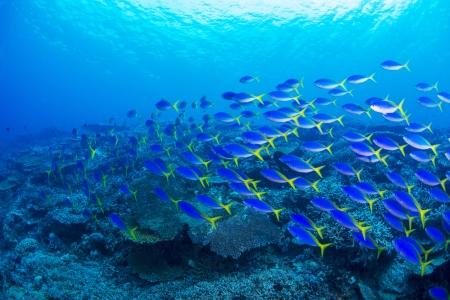 Redfin fusilier photo