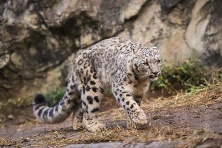 Snow leopard Standard-Bild