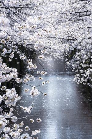 flor de durazno: Cherry Blossom