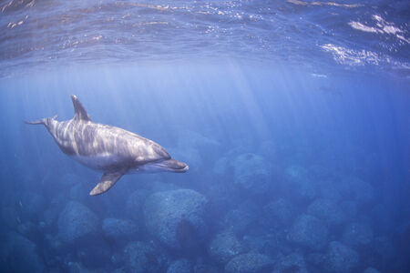 Dolphin swims in the ocean
