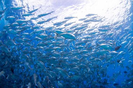 Bigeye kingfish photo