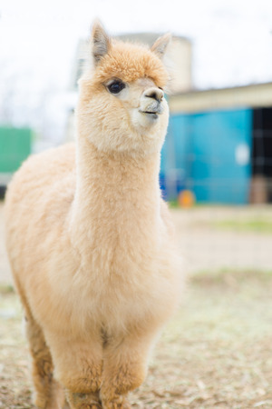 Closeup of an Alpaca photo