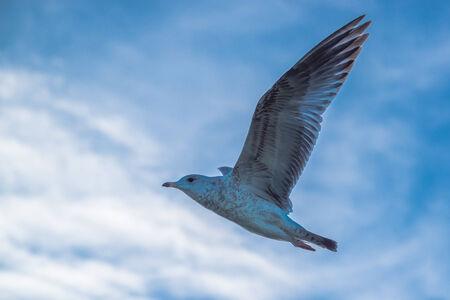 high winds: Graceful white seagulls