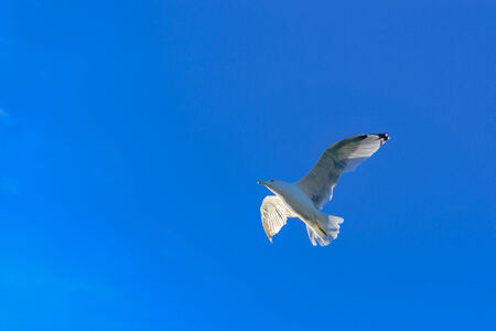 flapping: Graceful white seagulls