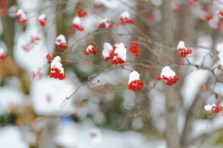 snow on rowan Stock Photo