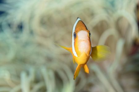 ocellaris clownfish: anemonefish