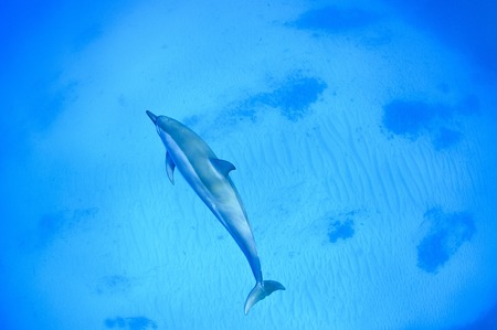 kona: Spinner dolphins swimming underwater in the Pacific Ocean
