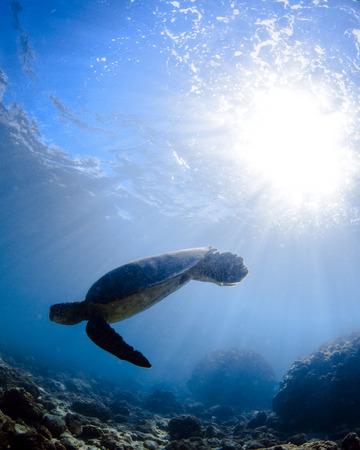 a hawaiian sea turtle Stock Photo