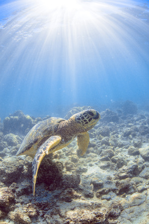 a hawaiian sea turtle photo