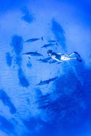 spinner: Spinner dolphins swimming underwater in the Pacific Ocean