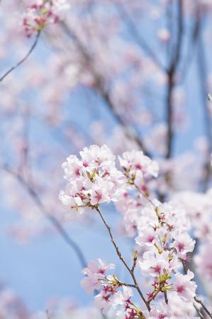 Pink sakura flowers Stock Photo