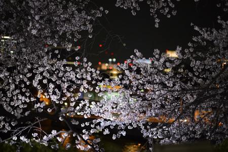 nightscape: Pink sakura flowers nightscape Stock Photo