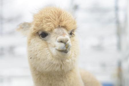 Very cute alpaca photo