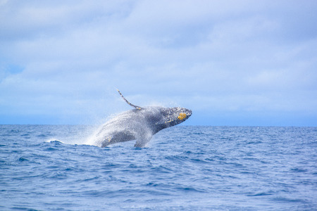 Humpback Whale (Megaptera novaeangliae) breaching at Okinawa, Japan.
