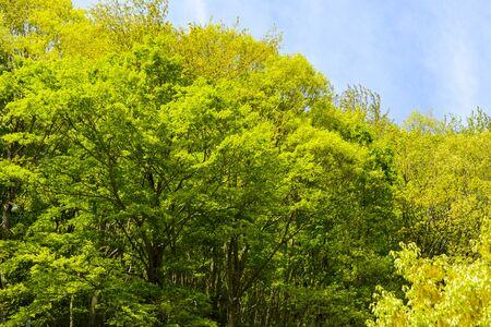 Fresh green in Yamanashi, Japan