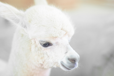 Closeup of a baby Alpaca Stock Photo