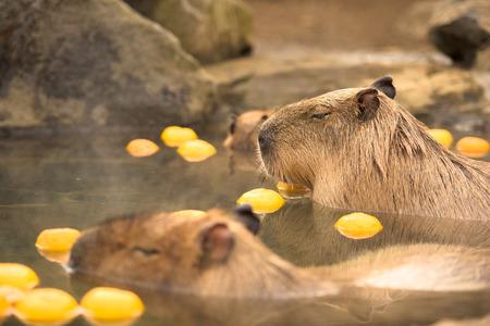 Capybara Hydrochoerus hydrochaeris Stock Photo