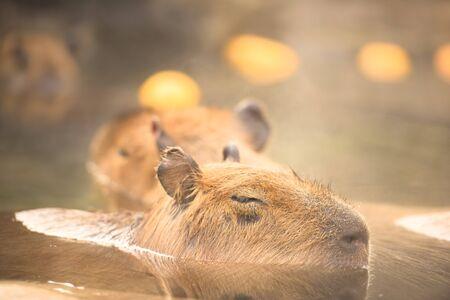 citrus family: Capybara Hydrochoerus hydrochaeris Stock Photo