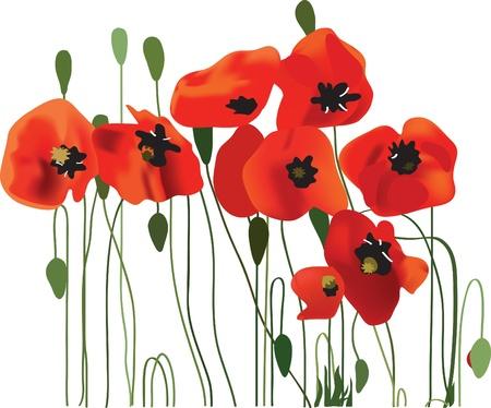 poppy field: las flores de amapola arte vectorial Vectores