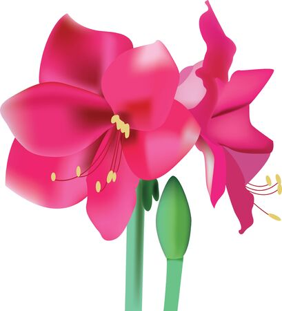 Beautiful pink flower amaryllis Vector