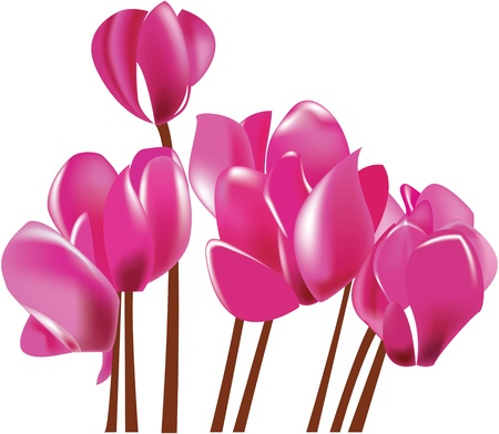 Cyclamen blooming pink flower Stock Vector - 11661441