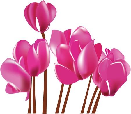 cyclamen: Cyclamen blooming pink flower